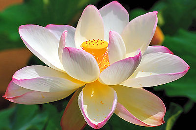 Lotus Flower Buddha Lotus Flower